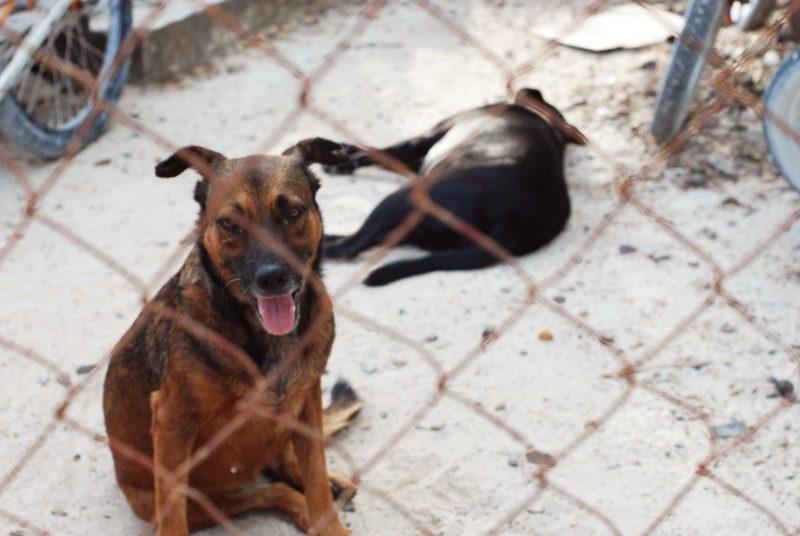 Caye Caulker Dog & Cat Adoption