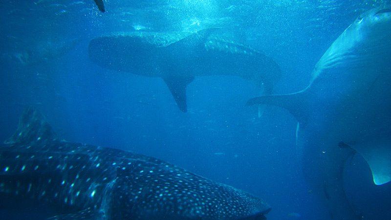 whale-sharks-oslob
