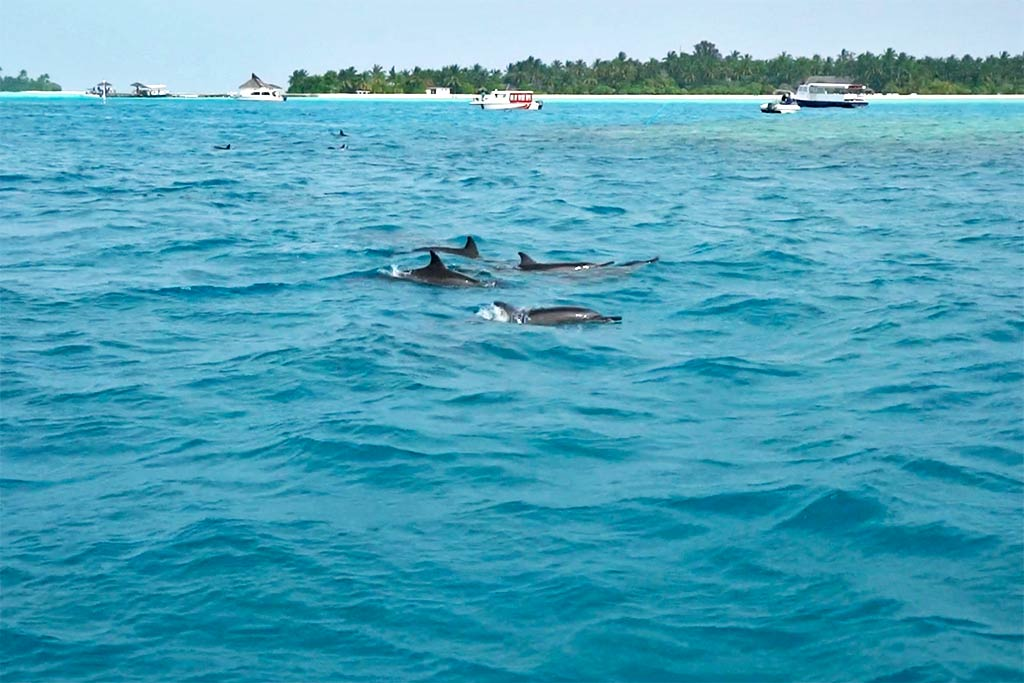 dolphin tours Maldives islands
