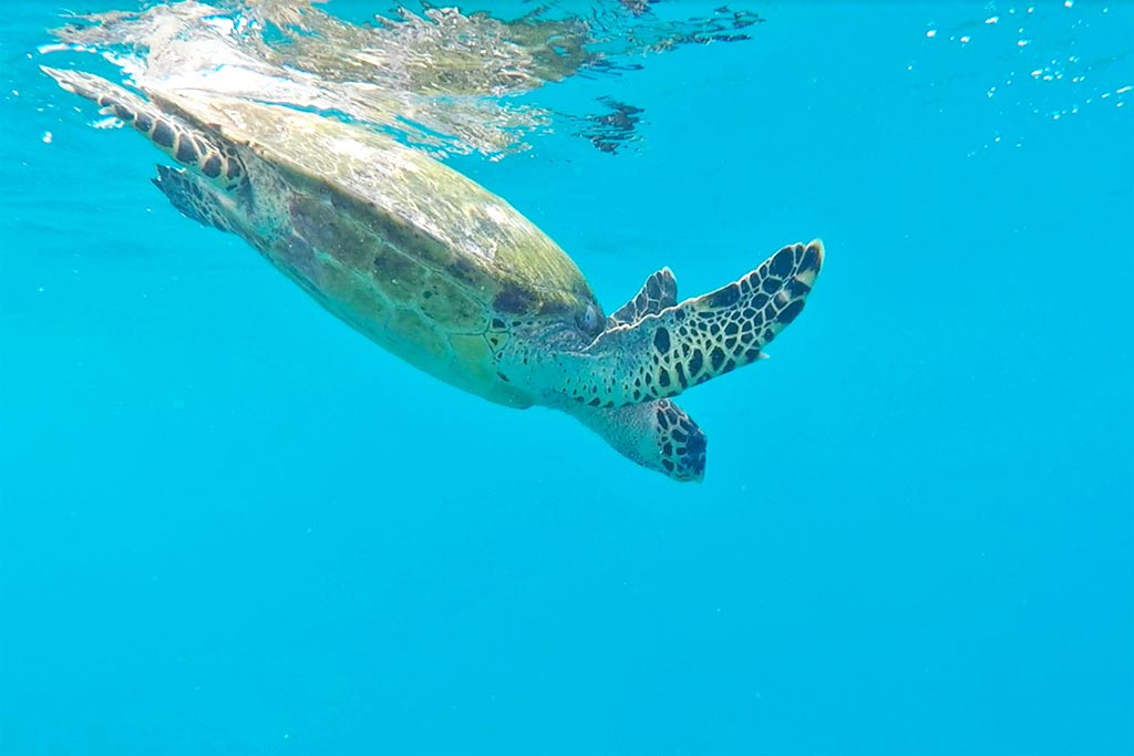 turtle snorkeling tours Maldives