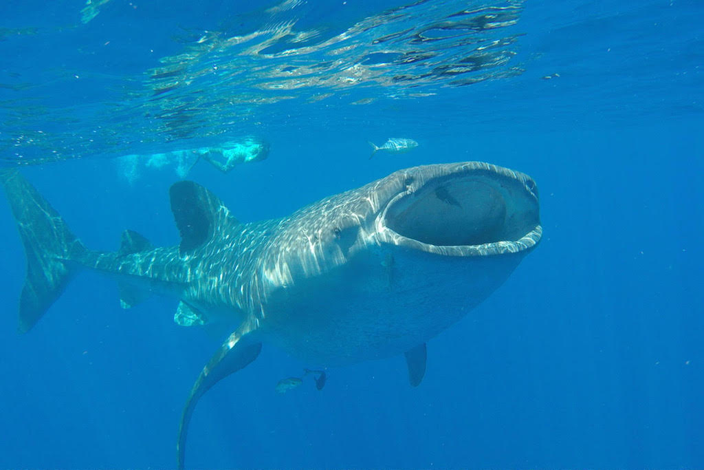swimming with whale sharks around the world