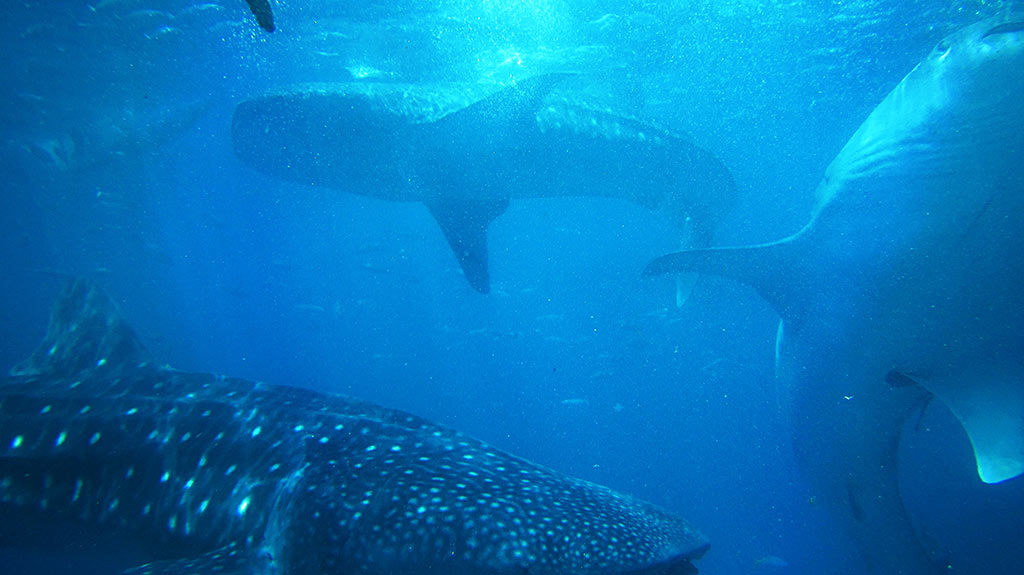 whale shark season Cancun