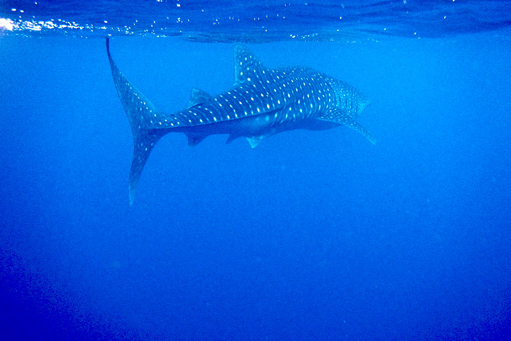 whale shark season Maldives