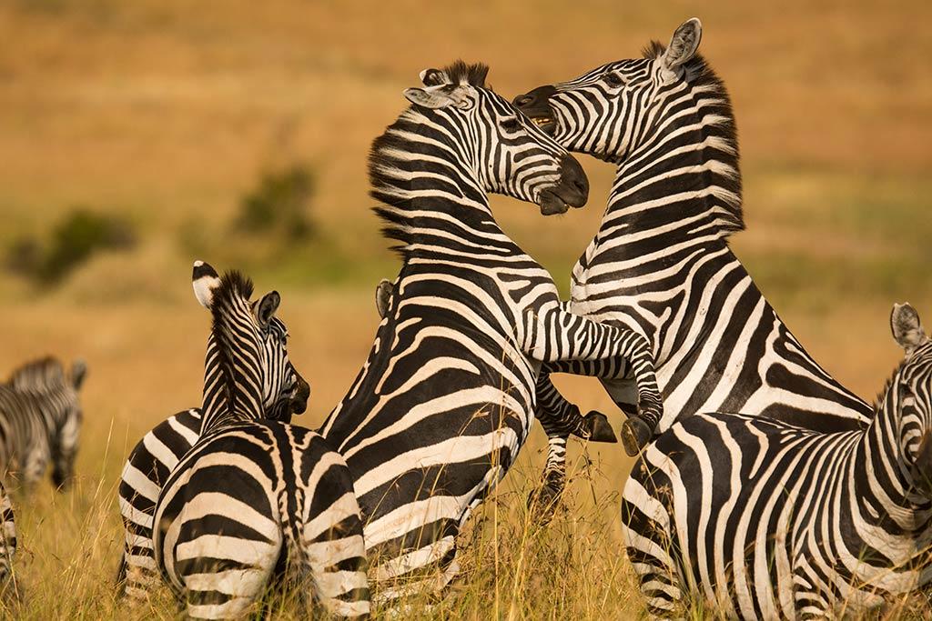 Yellow Zebra Safaris experience-Tanzania