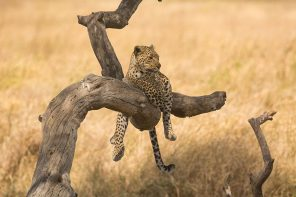 how to see leopards in Tanzania