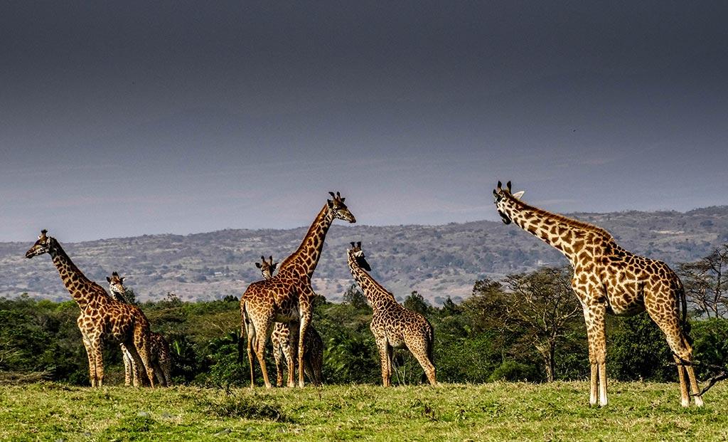 wild giraffes Tanzania safari